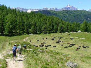 Kühe auf der Tour du Mont Blanc
