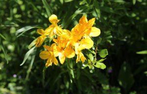 El Calafate flower in Patagonia