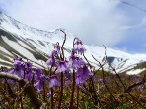 Soldanella-alpine-spring-flowers